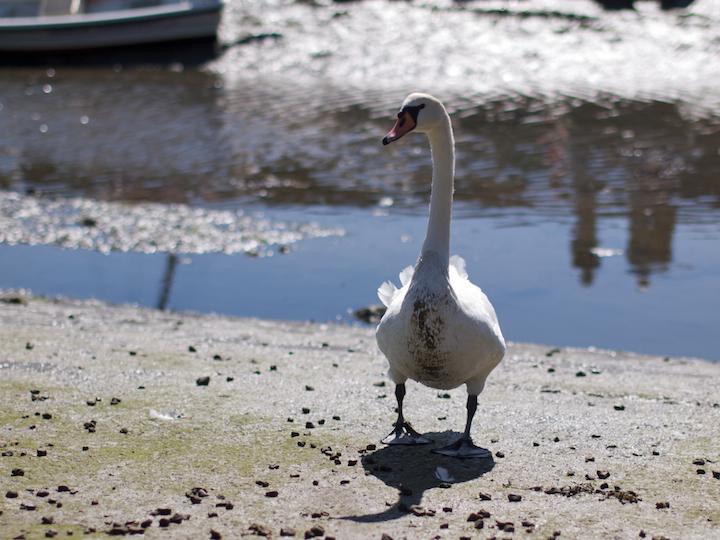Muddy Swan